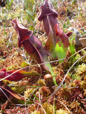 Pitcher plant with flower bud!